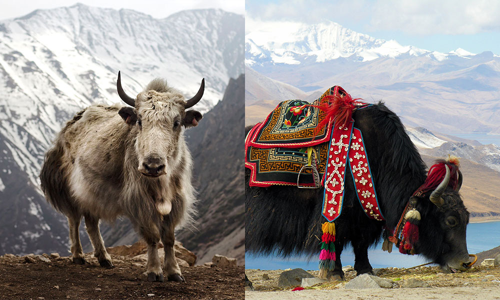 Yak communications concept
